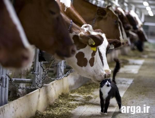نگاه گاو به گربه