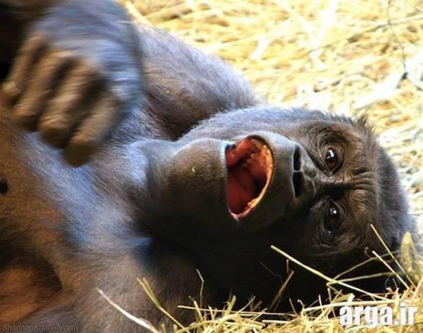 میمون چاق بامزه