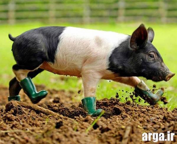 کشاورزی خوک در عکس های بامزه از حیوانات