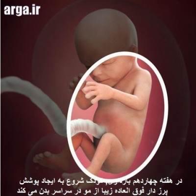 بارداری هفته به هفته