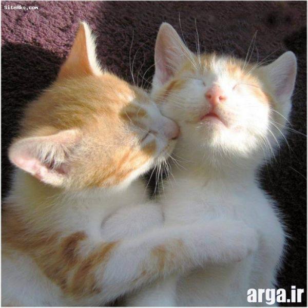 عکس گربه زیبا