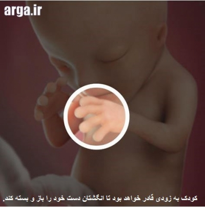 تشکیل دست ها در بارداری