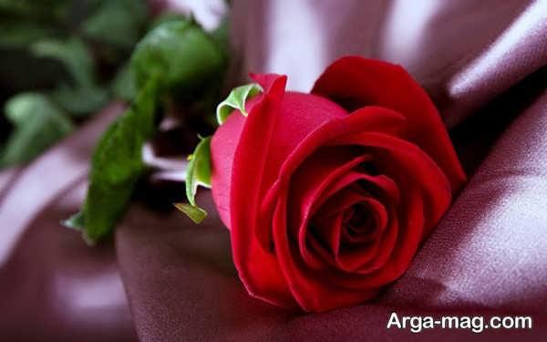 عکس گلهای رز قرمز زیبا