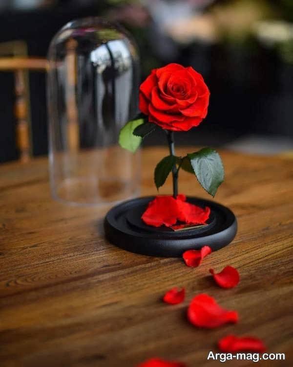 تصاویر گلهای رز قرمز