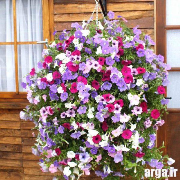 اولین گل اطلسی در عکس گل های زیبا