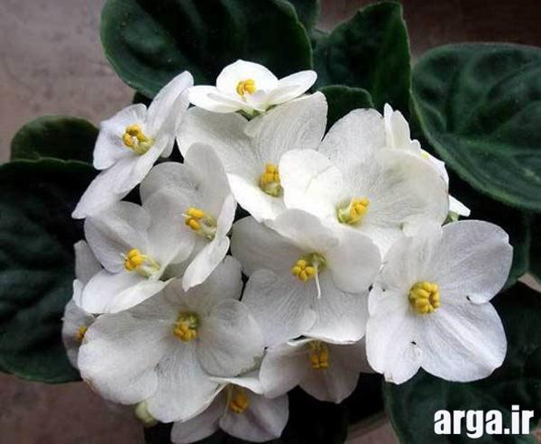 اولین گل بنفشه آفریقایی در عکس گل های زیبا