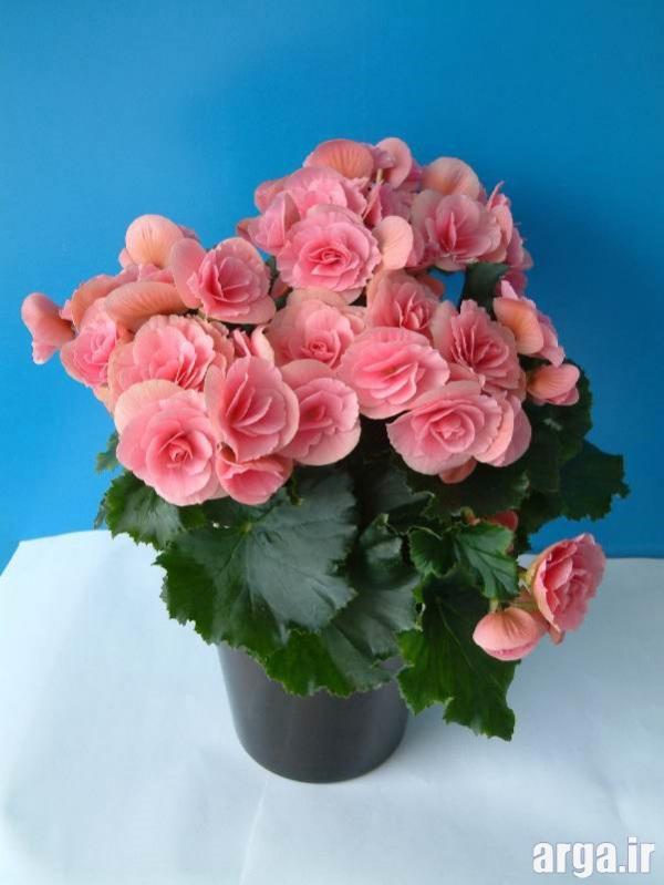 اولین گل بگونیا در عکس گل های زیبا