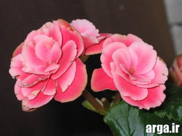 دومین گل بگونیا در عکس گل های زیبا