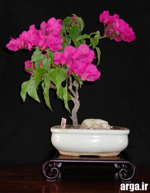 اولین عکس گل بونسای