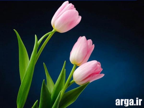 عکس گل لاله صورتی