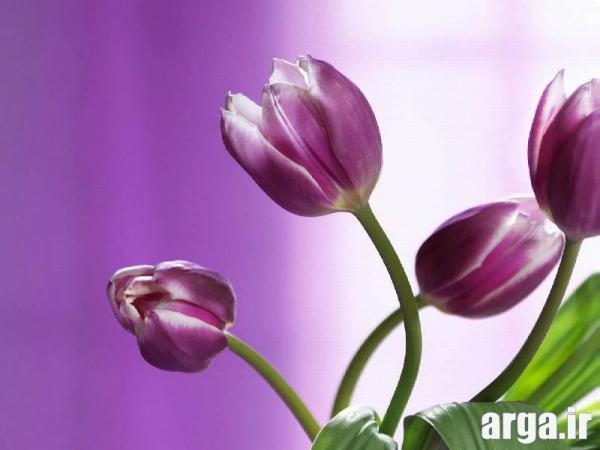 گل لاله طبیعی
