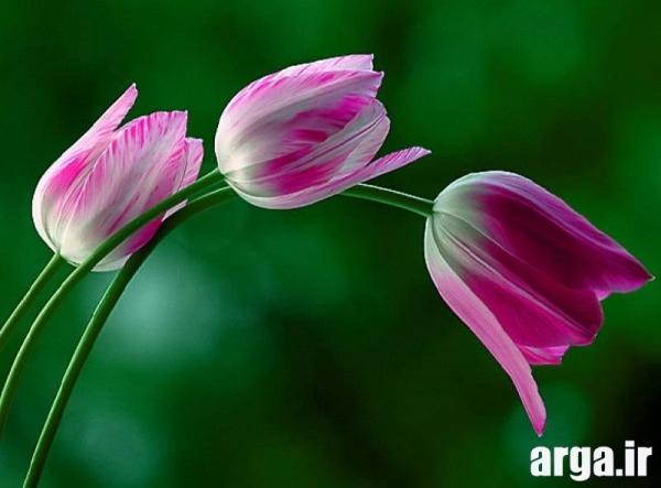 گل لاله اصلی