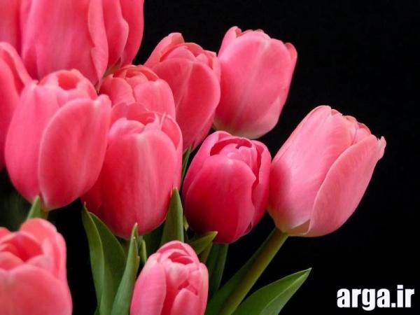 گل های لاله زیبا