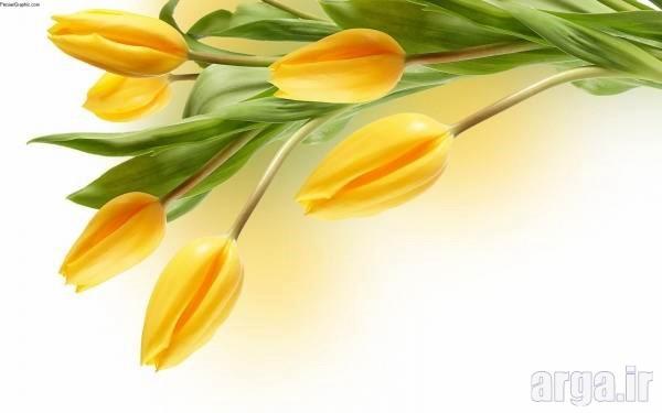 گل های لاله زرد