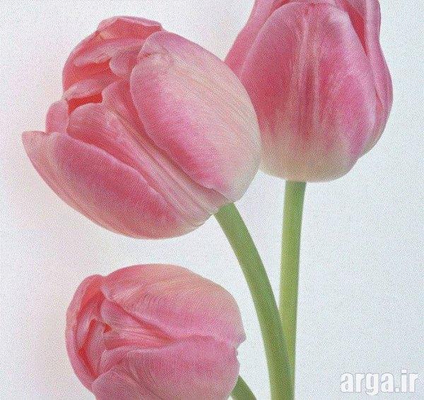 گل های لاله اصل