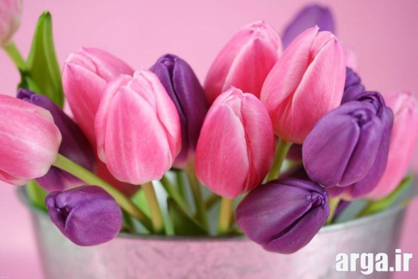 عکس گل لاله بنفش و صورتی