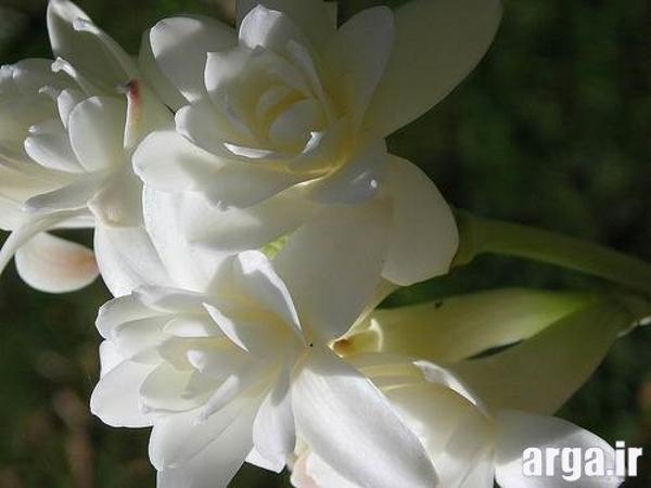 گل مریم خوش بو