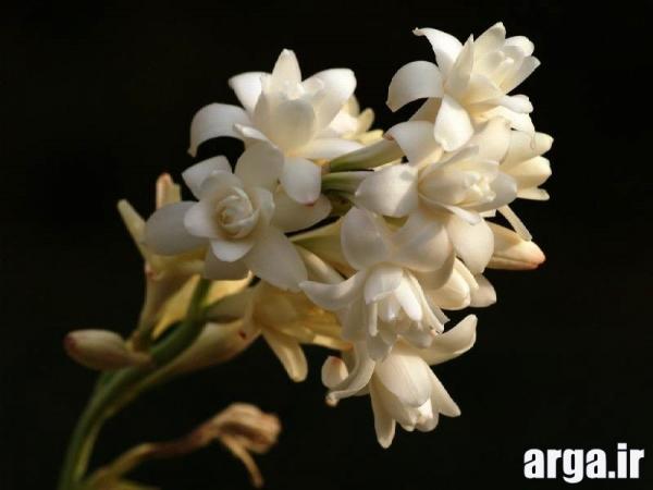 گل های زیبای مریم