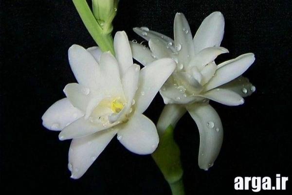 گل های طبیعی مریم