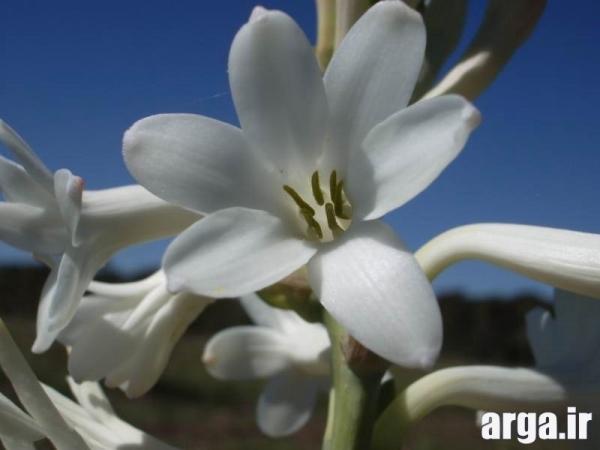 گل های ناز مریم