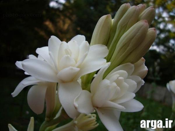 گل های جذاب مریم