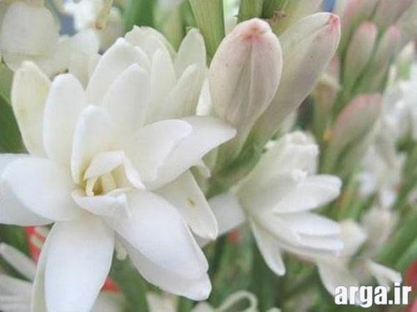 انواع زیبا از گل های مریم