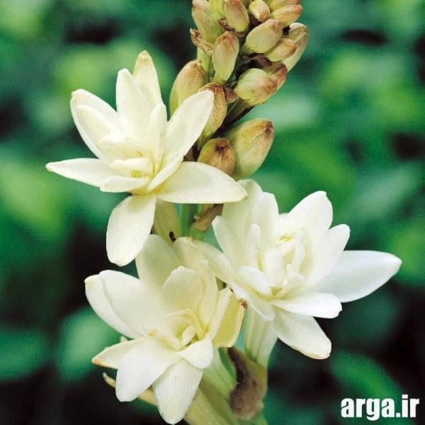 انواع ناز از گل های مریم