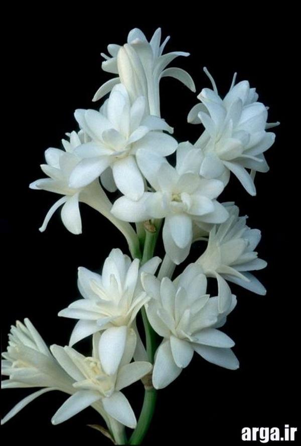 انواع جذاب از گل های مریم