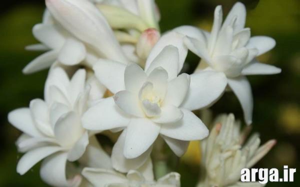 عکس گل مریم ناز