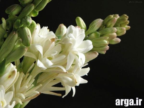 انواع خوش بو از گل های مریم