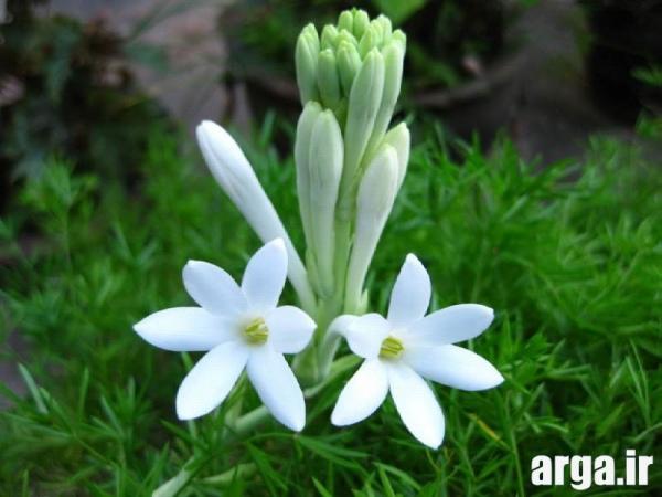 عکس گل مریم خوش بو