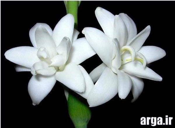 گل مریم جذاب