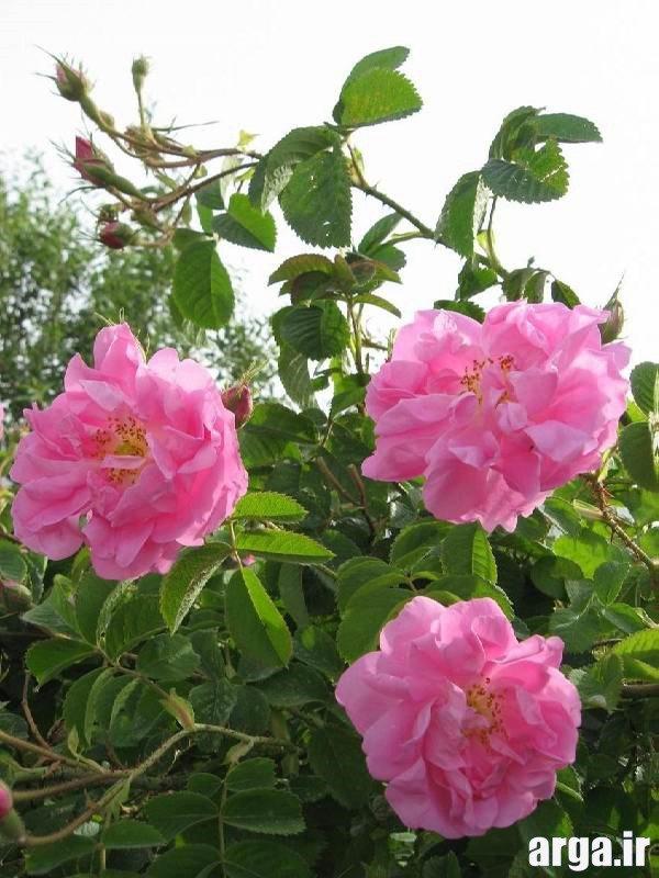 گل های محمدی جذاب