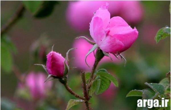 گل های محمدی باطراوت