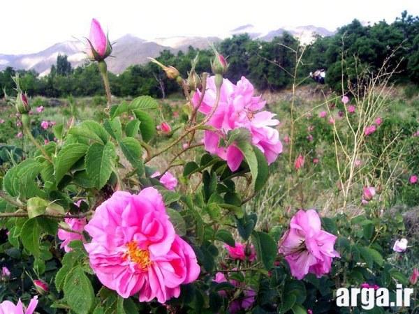 گل های محمدی طبیعی