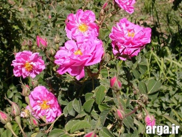 عکس های گل محمدی زیبا