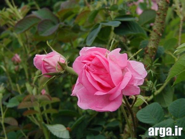 عکس های گل محمدی جذاب