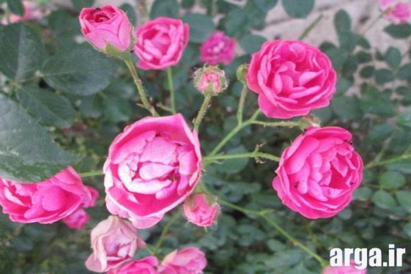 گل محمدی زیبا