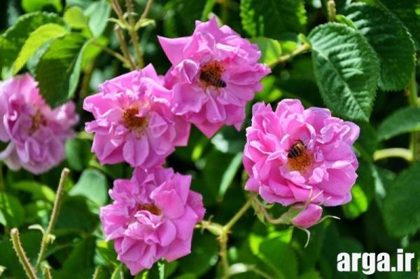 گل محمدی جذاب