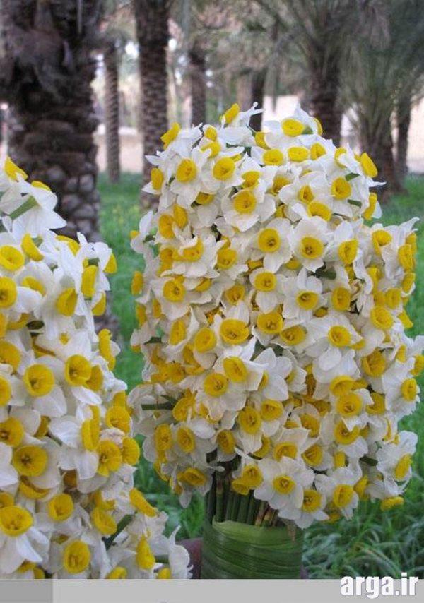گل های نرگس طبیعی