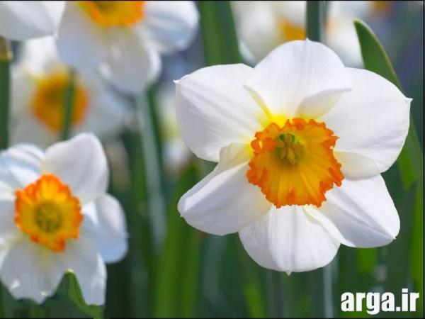 گل های نرگس باطراوت