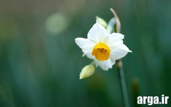 گل های زیبای نرگس