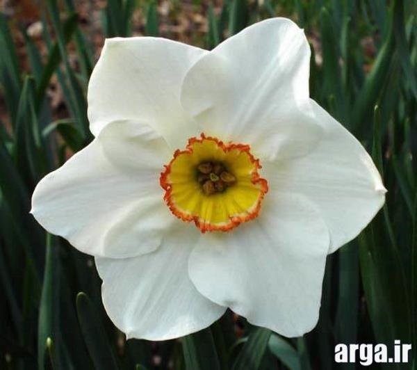 گل های طبیعی نرگس