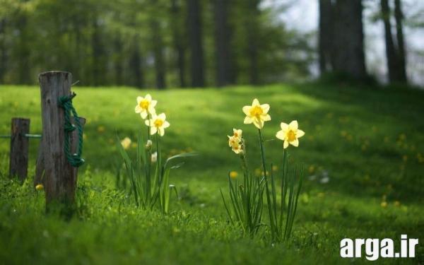 گل های جذاب نرگس
