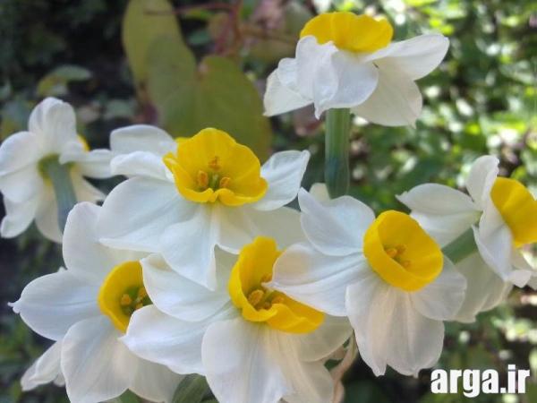 عکس گل نرگس طبیعی