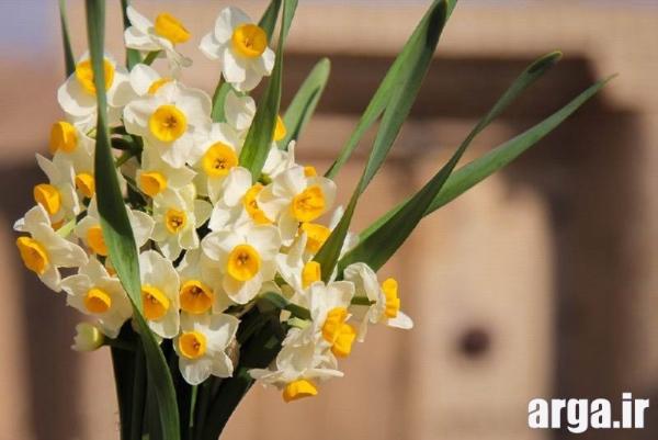 گل نرگس شاداب