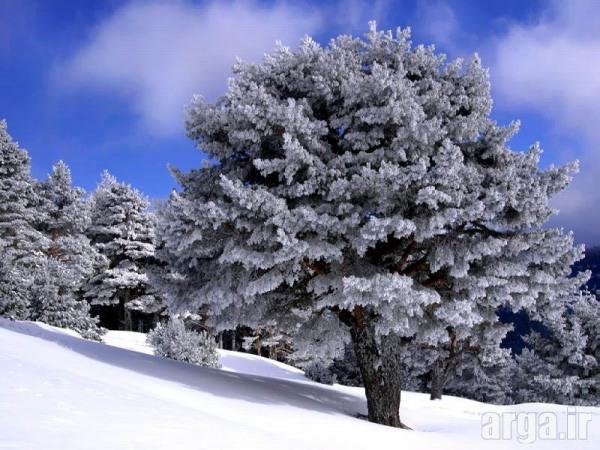تک درخت برفی در عکس منظره برفی