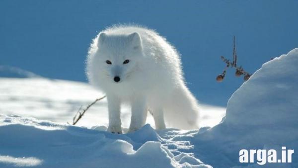عکس خرس در منظره برفی