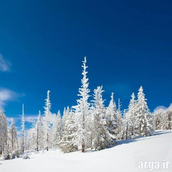 تصویر درختان کاج در منظره برفی