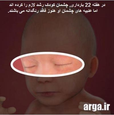 روند رشد چشمان جنین